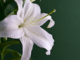 White lily close-up isolated on green background